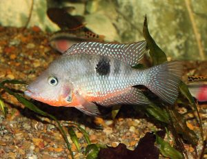 Firemouth cichlid appearance