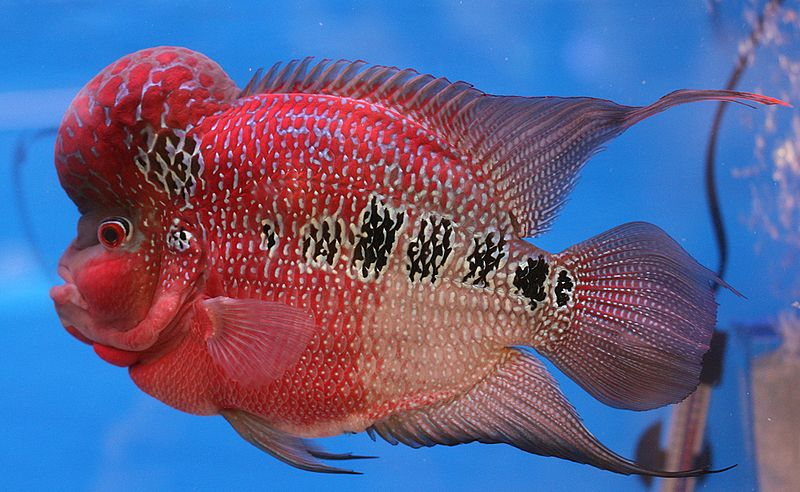 Flowerhorn fish: Food, lifespan, care, types and tank size