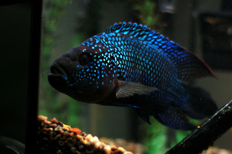Appearance of jack dempsey fish