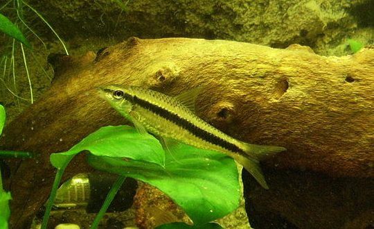 Siamese algae eater: Size, care, breeding and tank mates