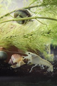 A Snow White Crayfish (Procambarus sp.) Fighting a Mystery Snail (Pomacea bridgesii) for Food