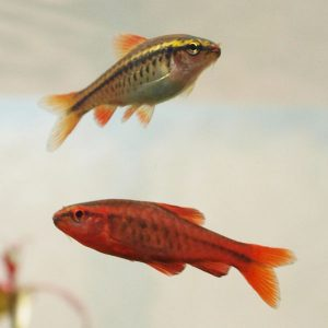 Cherry barb male and female