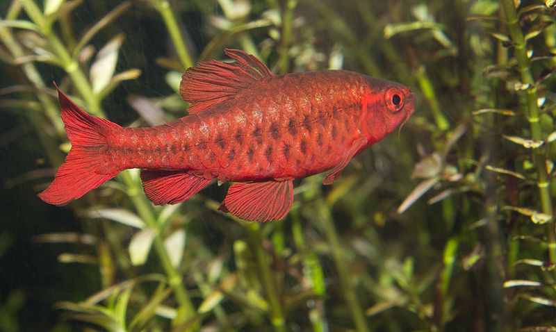 Cherry barb appearance