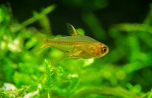 Ember tetras appearance
