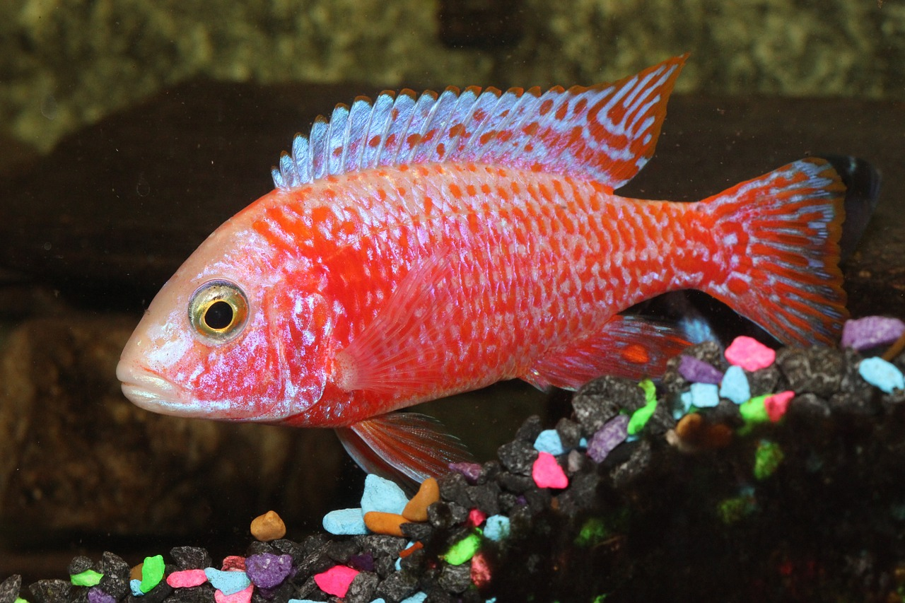 Red peacock cichlid