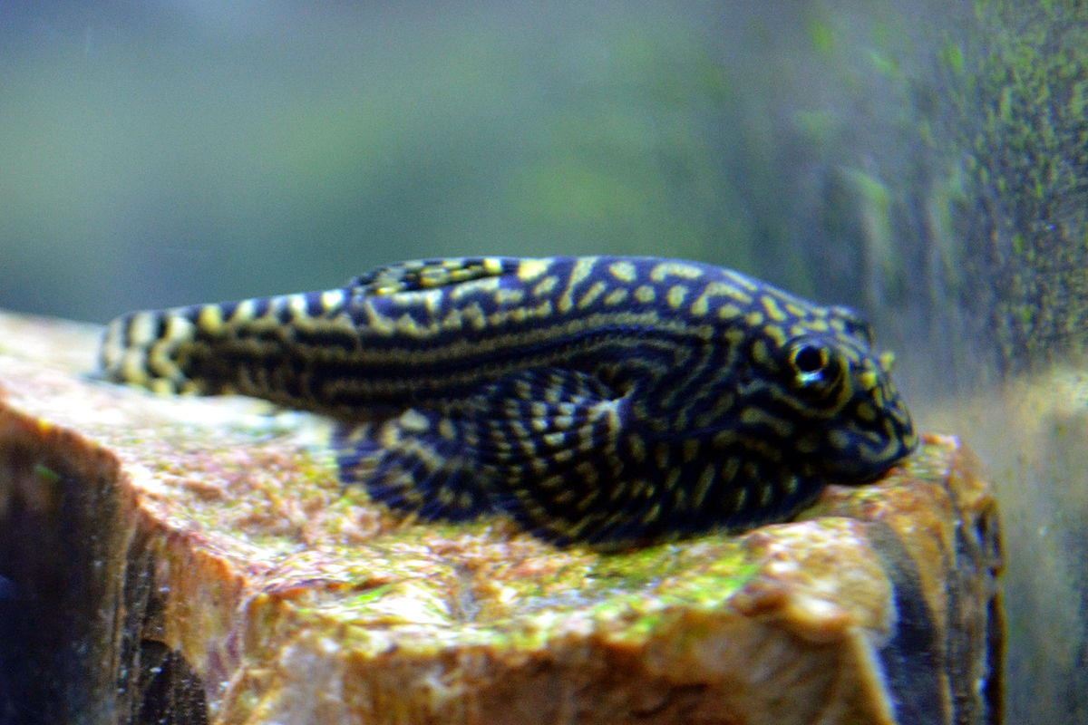 Hillstream loach: Complete care and guide- [2020]