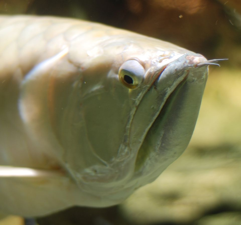 Silver arowanas' mouth