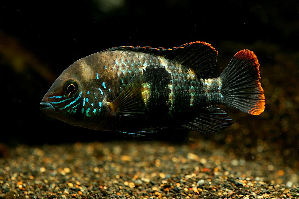 Green terror in aquairum with jewel cichlid