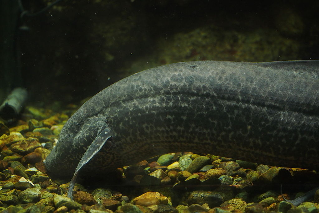 African lung fish appearance